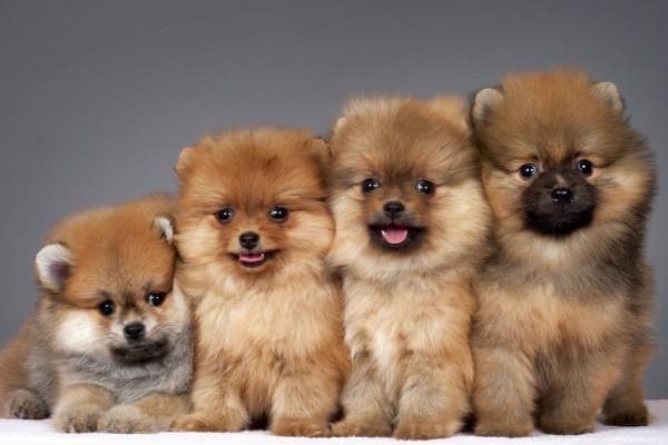 четыре щенка померанского шпица