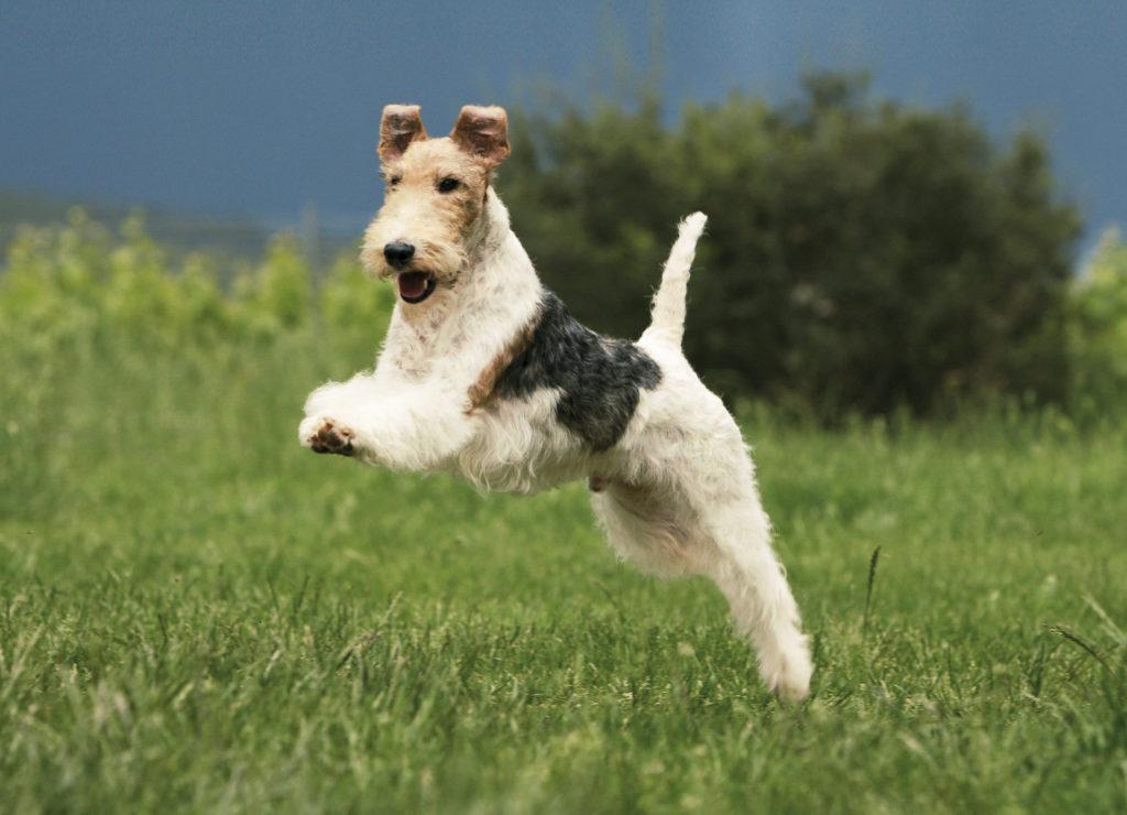 Жесткошерстный фокстерьер в прыжке с высунутым языком на прогулке
