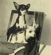 Два чихуахуа, старое фото