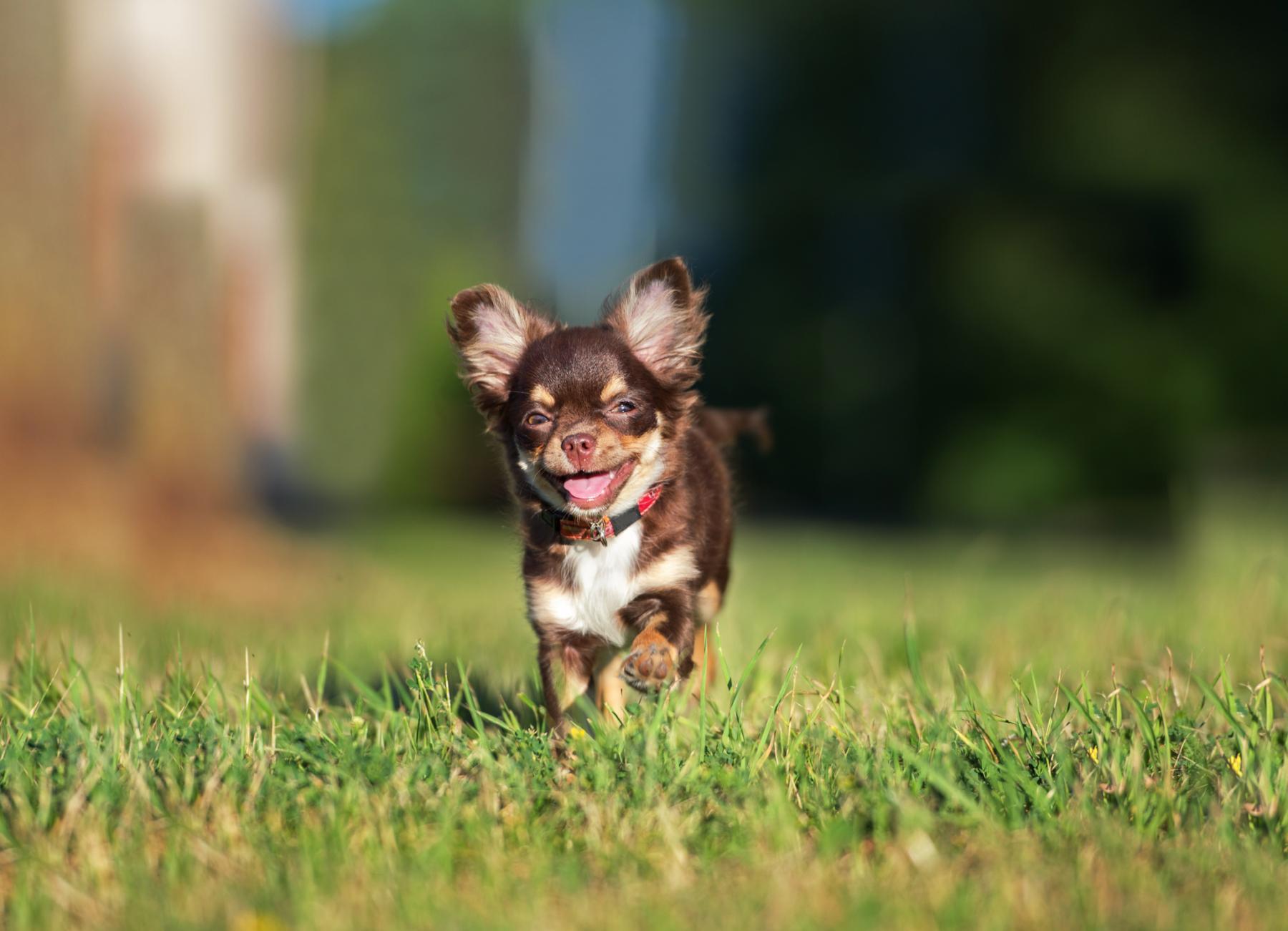Маленький чихуахуа бежит по поляне