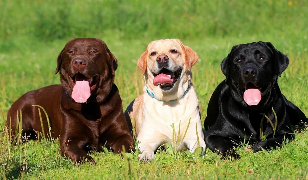 Три лабрадора на природе. Черный, золотистый и шоколадный окрас.